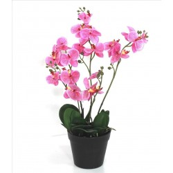 Planta Orchid Rosa