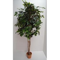 Arbol Ficus Tree